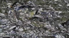 Crowd of snake-head fish around the river Stock Footage