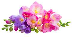 Fresh freesia flowers Stock Photos