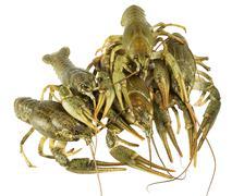 Living  two Crayfish closeup on white background - stock photo