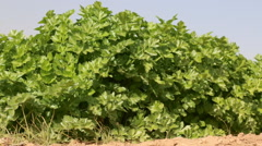 Celery plants on the field Stock Footage