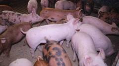 Piglet farm pigs Stock Footage