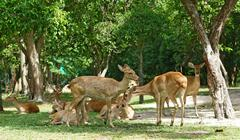 group of brow antlered deer in the zoo - stock photo