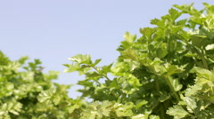 Celery growing under the summer sun on the field of a horticultural company - stock footage