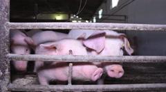 Piglet farm  Stock Footage