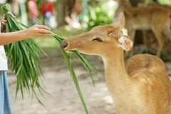 Human feed the grass to brow antlered deer in the zoo Stock Photos