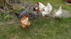 A rooster walking with hens outside the farm Stock Footage
