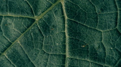 The relief, the volume and texture of plant leaf during changing light. Macro - stock footage