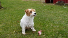 The jack russell has just finished chewing on a bone Stock Footage