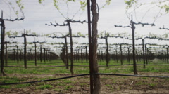 Low angle shot of a Raisin or Grape Vineyard - stock footage