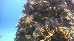 Two Murena on Coral Reef Stock Footage