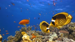 Tropical Fish on Vibrant Coral Reef Arkistovideo