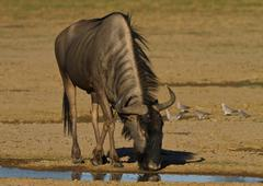 Wildebeest drinking, Kgalagadi Transfrontier Park, Africa Stock Photos