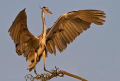 Grey Heron landing, Lonehill Dam, Johannesburg, South Africa Kuvituskuvat