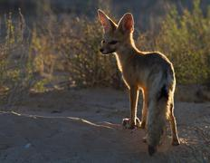 Cape Fox with rat, Kgalagadi Transfrontier Park, Africa Stock Photos