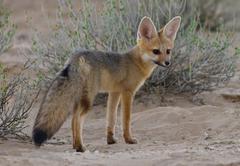 Cape Fox, Kgalagadi Transfrontier Park, Africa Stock Photos