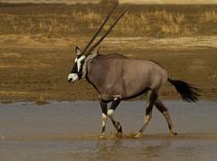 Gemsbok walking through water, Kgalagadi Transfrontier Park, Africa Stock Photos