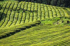 Tea plantation in Porto Formoso. Amazing landscape of outstanding natural bea - stock photo