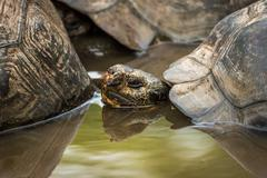 Galapagos giant tortoise in pond behind another - stock photo