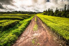 Tea plantation in Porto Formoso on the north coast of the island of sao migue - stock photo