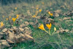 Yellow crocuses in spring forest among grass Stock Photos