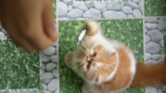 Playful Funny Red Cat Playing with Human - stock footage