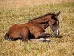 One day old foal lying on meadow - stock photo