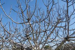 Fig Tree leafless in winter - stock photo