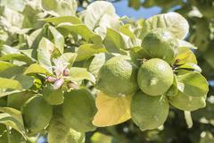 Unripe lemons on the tree, lemon blossom Stock Photos