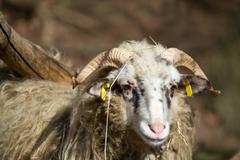 Ram or rammer, male of sheep Stock Photos