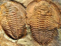 Fossils - trilobite Stock Photos