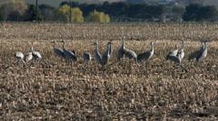 Cranes, Sandhill Cranes, Birds, Corn Field Stock Footage