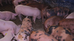 Piglet farm pigs above  Stock Footage
