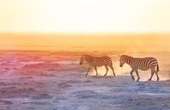 Gorgeous zebras walking on dusty wilderness Stock Photos