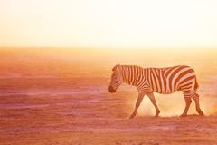 Plains zebra pasturing at Amboseli National Park - stock photo