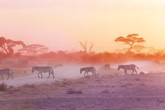 Zebras herd on dusty savanna at sunset, Africa - stock photo