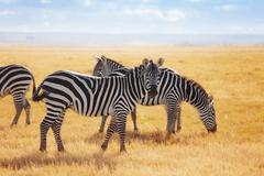 Zebras pasturing at the Kenyan savannah, Africa Stock Photos