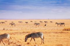 Big herd of African zebras walking at Kenyan plain Stock Photos