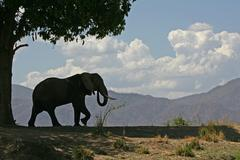 African elephant (Loxodonta africana) bull and sausage tree, Mana Pools, Zimb Stock Photos