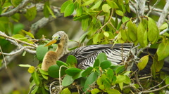 Anhinga aquatic bird in Florida Stock Footage