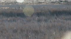 Red Winged Blackbirds, Yellow Headed Blackbirds, Birds, Fly, Flight, Flying - stock footage