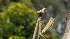 praying mantis looking at camera - stock footage