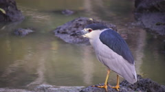 Black-crowned night heron hunting fish Stock Footage