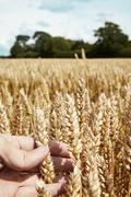 Close up of hand holding wheat stalks Stock Photos