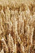 Close up of tall wheat stalks - stock photo