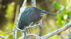 Green heron hunting fish Stock Footage