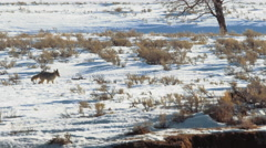 Coyote walking through snow Stock Footage
