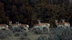 Herd of Pronghorn Stock Footage