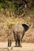 Rear view of African Elephant (Loxodonta africana) with calf, Mana Pools, Zim Stock Photos
