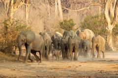 Herd of African Elephants (Loxodonta africana) on the move, Mana Pools, Zimba Stock Photos