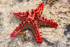 Red starfish on the rock - stock photo